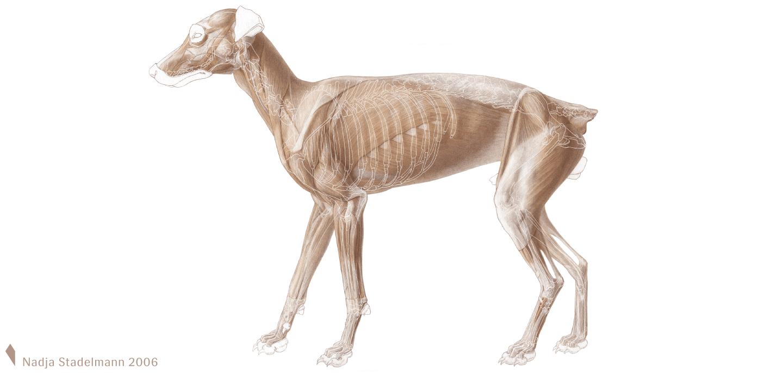 Oberflächliche Anatomie Hund Nadja Stadelmann 2006