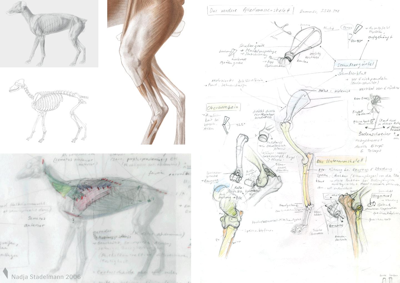 Nadja Stadelmann » Anatomie Hund