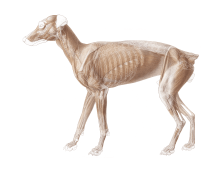 Anatomie Hund