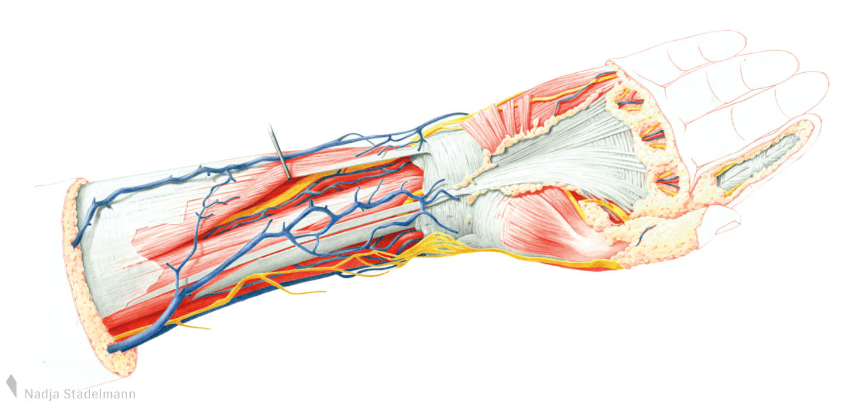 Nadja Stadelmann » Anatomie Hand
