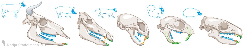Klett Lehrmittel Biologie Tierschädel Nadja Stadelmann