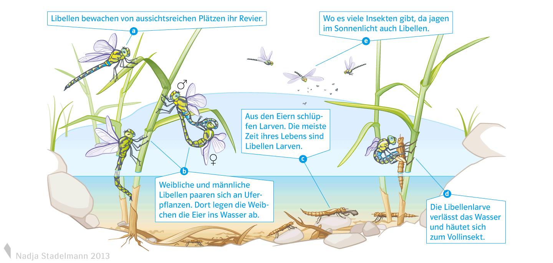 Klett Lehrmittel Biologie Libelle Kreislauf Nadja Stadelmann