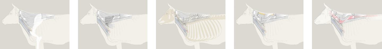 Anatomie Kuh Schichten Nadja Stadelmann